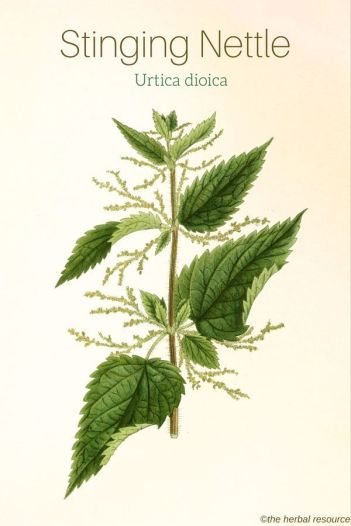 stinging-nettle-urtica-dioica-img